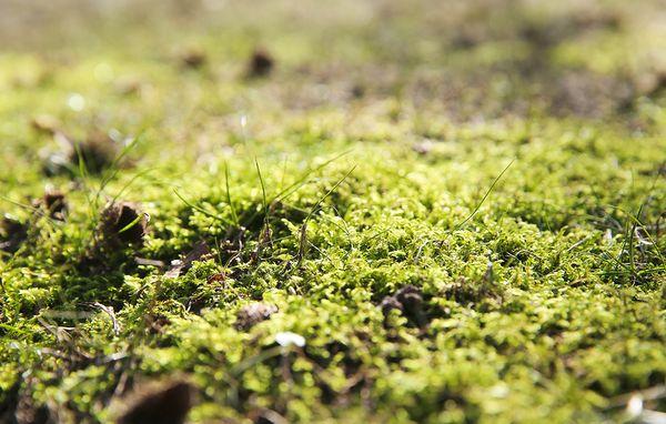 bekæmpelse af mos i græsplæne