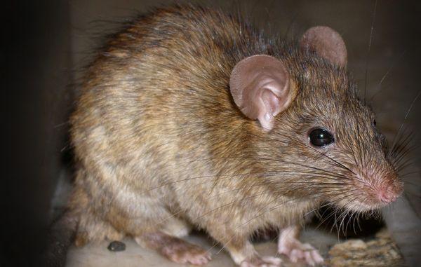 rottebekæmpelse med lyd