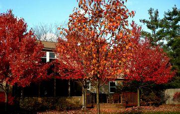 Små træer med smukke efterårsfarver. Foto: Scanpix