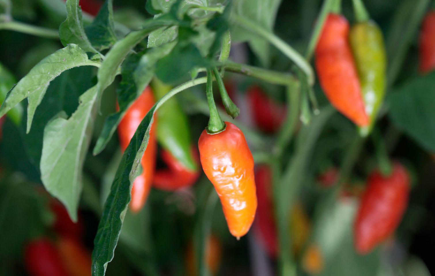dyrkning af chili indendørs