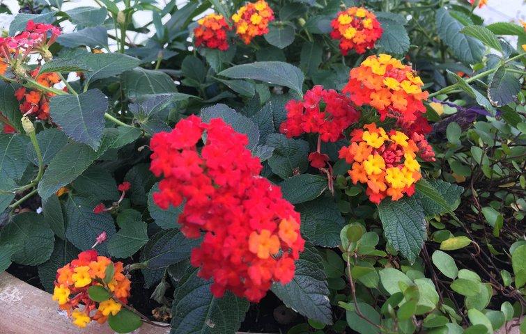10 nemme blomster at dyrke i krukker