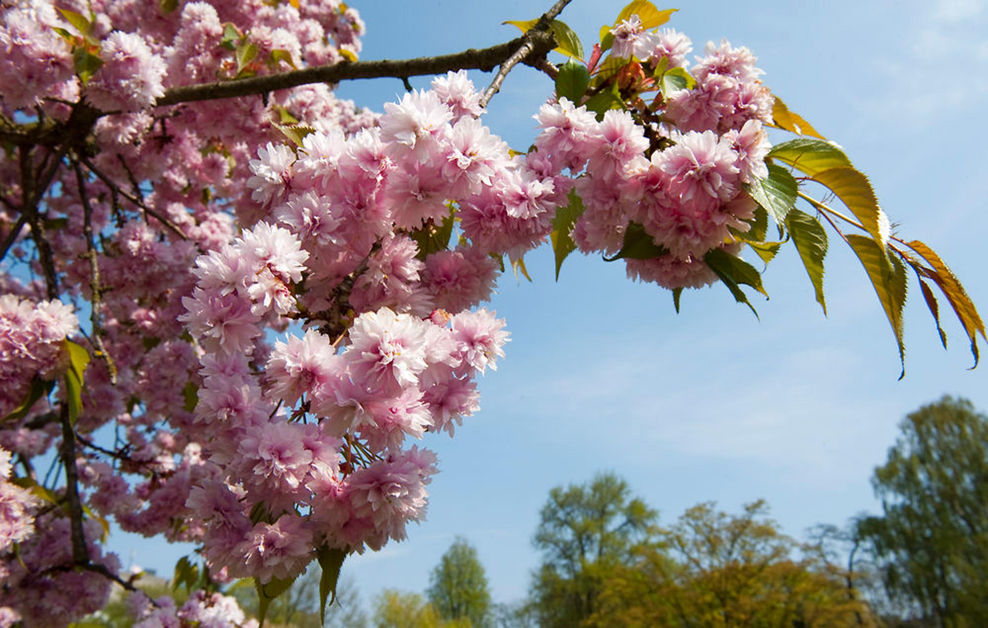 Japansk træ   Møbler til terrassen og haven
