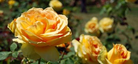 Også roser har brug for ekstra gødning, hvis de skal være store og